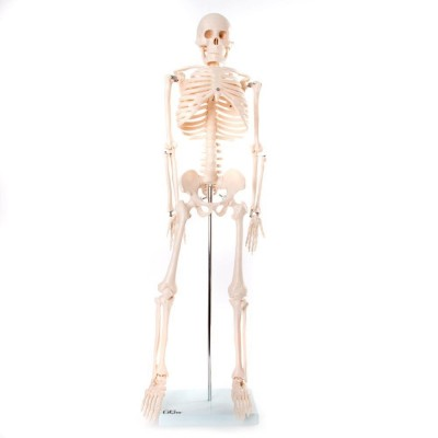 Medium Anatomical Skeleton Model - 85cm
