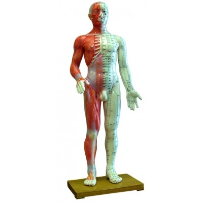 Human Body Model 60cm Acupuncture Points & Anatomy