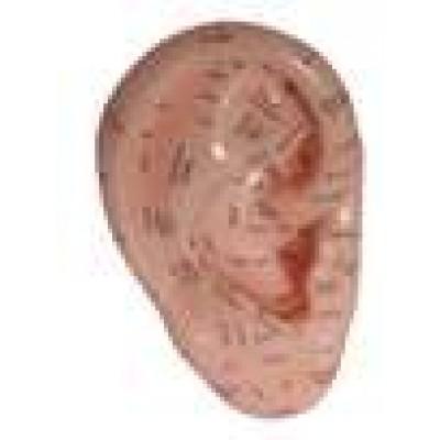 Ear Model 17cm